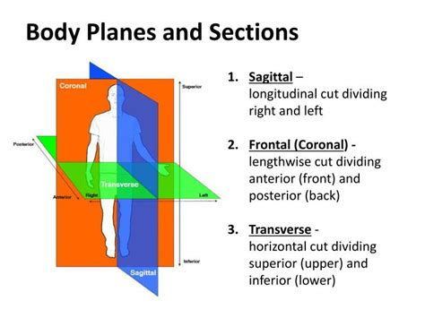 body planes and sections ppt early anatomy studies powerpoint presentation id