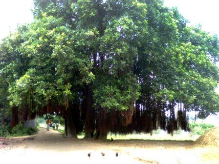 banyan tree bank banyan tree in bangladesh bank of balu river