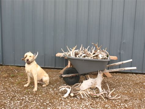 Antler Ridge Shed Dogs antler ridge shed dogs browse articles