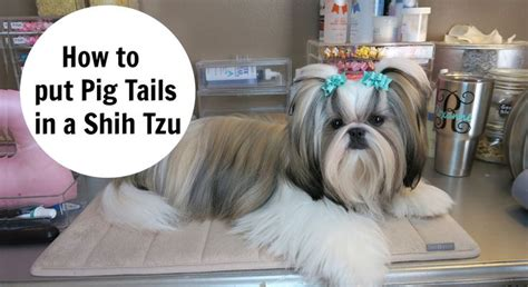 how to a shih tzu to lay 1000 images about my favorite things on