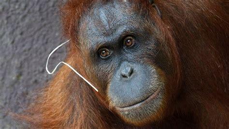 Jersey Mawar nov 225 pražsk 225 orangutanice mawar už to m 225 spoč 237 233 dostane ženicha idnes cz