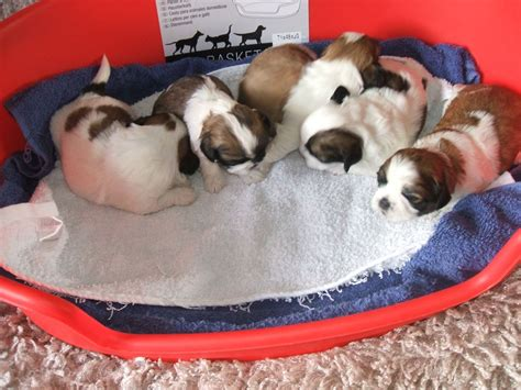 shih tzu puppies for sale in bolton genuine shih tzu puppies for sale bolton greater manchester pets4homes
