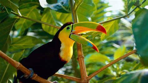 beautiful bird toucan costa rica desktop wallpaper hd