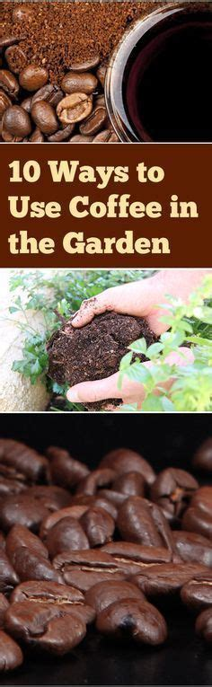 How To Use Coffee Grounds In The Garden by 1000 Ideas About Coffee Plant On Coffee