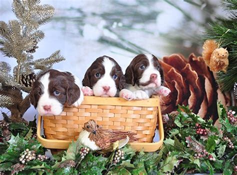 springer spaniel puppies florida springer spaniel puppies cathy and joe baker sunkissed kennels stuart florida