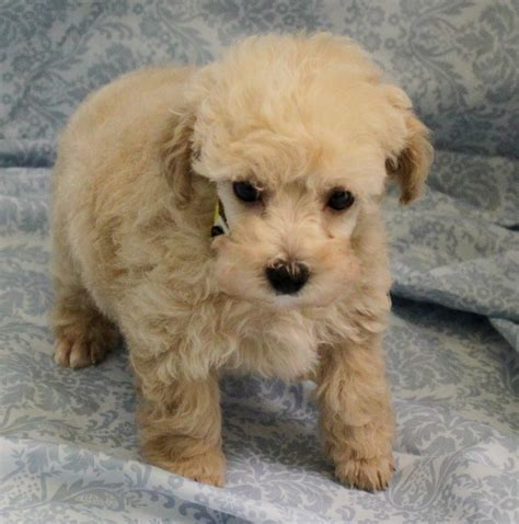 puppy breeders in nj poodle puppies for sale new jersey breeders club litle pups