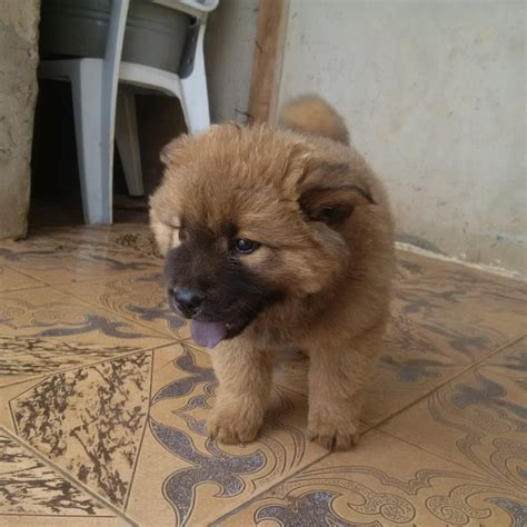 chow chow pug solid imported gsd chow chow great dane pug labrador dobberman 4sale pets