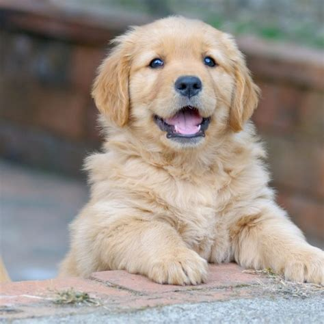 questions to ask a breeder 3 questions to ask yourself before you get a puppy greenfield puppies