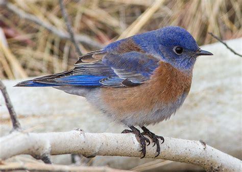 western bluebird wikipedia