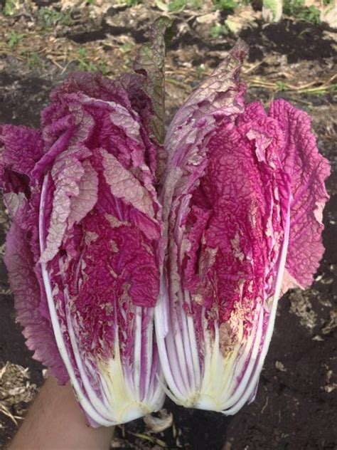 New Longch Neo Pink Small cn seeds launches neon pink cabbage