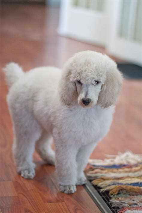 1000 images about doggy doos on pinterest poodles shih 1000 images about poodle doodle on pinterest standard