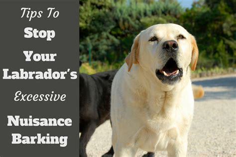 how to labrador in how to stop a from barking labrador hq
