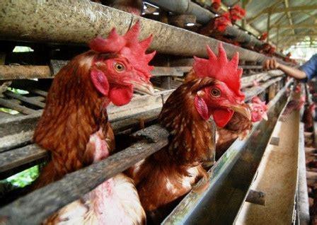 Harga Vitamin Ayam Petelur cari harga ayam petelur klik harga terlengkap februari 2019