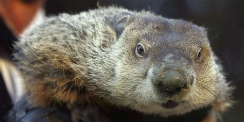 groundhog day 2015 groundhog day doesn t matter in canada here s 4 reasons why