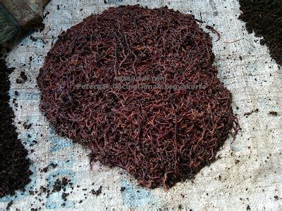 Jual Cacing Yogyakarta jual cacing tanah sleman yogyakarta peternak cacing