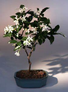 flowering white jasminetrachelospermum jasminoides