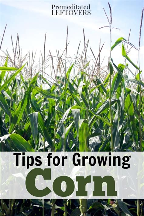 how to grow corn in your backyard how to grow corn in your garden from seed to harvest