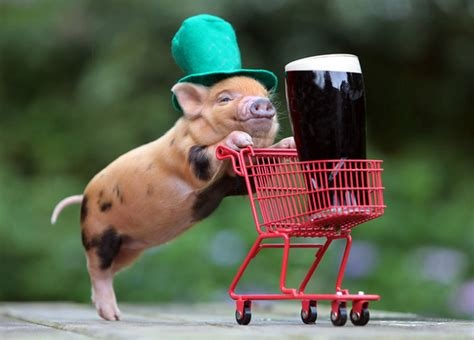 are teacup pugs real are teacup pigs real make sure you read this before buying a micro pig