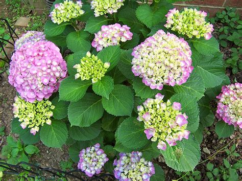 slings from spring creek pruning the hydrangeas
