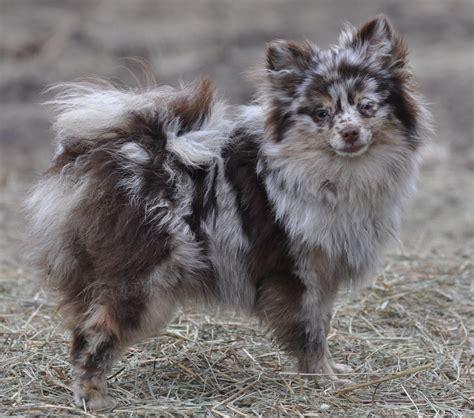 lavender merle pomeranian s kennel pomeranian dogs