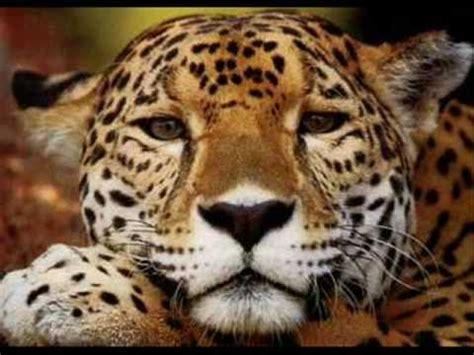 imagenes con jaguar informacion del jaguar youtube