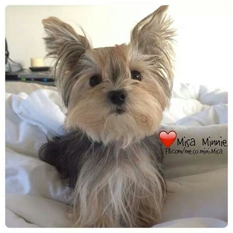 misa minnie yorkie best 25 misa minnie ideas on yorkie puppies terrier puppies