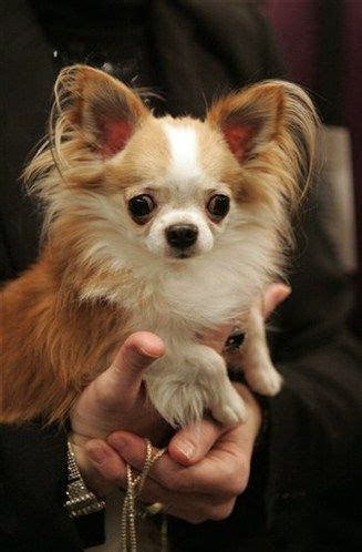 long hair chihuahua hair growth what to expect long haired chihuahua dogs animal chihuahua dogs