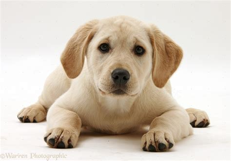 lab puppy cost 2017 delightful yellow labrador retriever puppies baby pictures images wallpapers