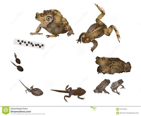 Cycle De Vie De Crapaud Commun Illustration Stock - Image ...