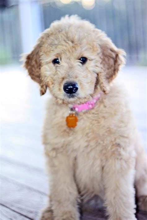 1000 Images About Mini Goldendoodles On