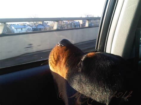 rottweiler in car blue goes to and doesn t the muliebrity