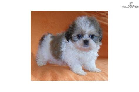 shih tzu breeders ohio shih tzu puppy for sale near akron canton ohio 247b1d26 9151