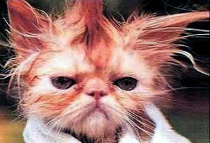 Bad Hair Day Is Your Cat A Bad Hair Day Band Of Cats