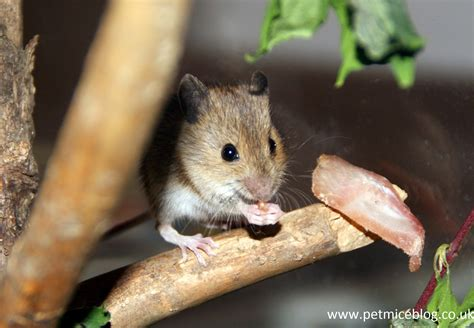 mice as pets pros and cons pet mice blog co uk