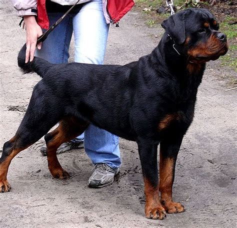 vitiligo rottweiler for sale solid black rottweiler www imgkid the image kid has it