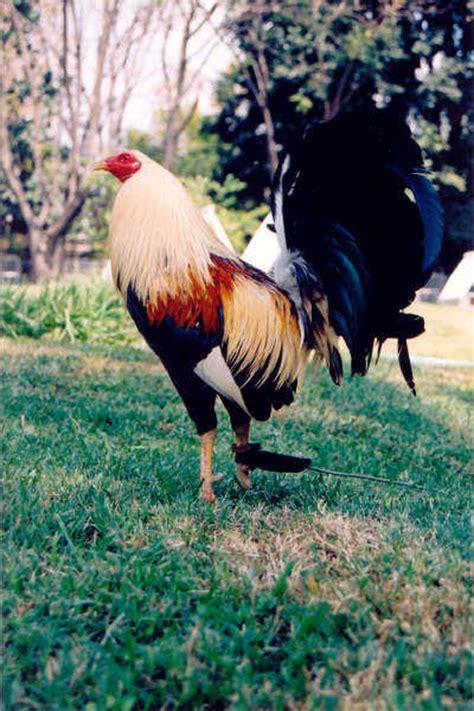 gallos de peleas de todas las razas razas conozca todo lo relacionado con los gallos de combate
