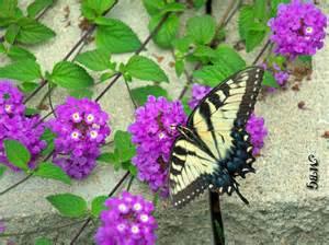 Garden Zones Us - butterfly plants list butterfly flowers and host plant ideas
