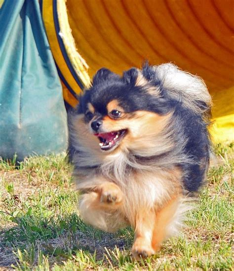 finch pomeranians 5 breeds who never need a nap