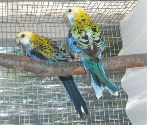 rosella mealy parakeet 146317 for sale in san diego ca