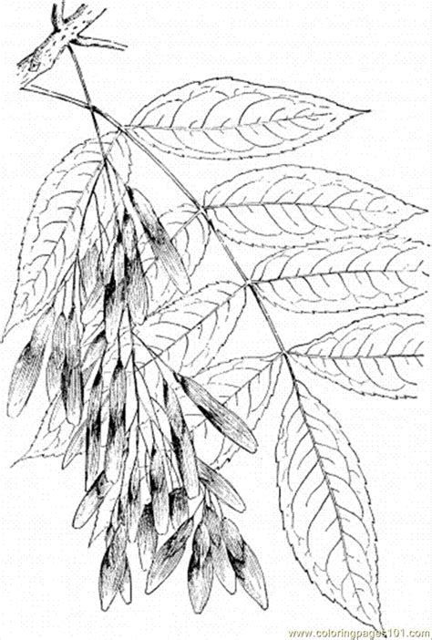 ash leaf coloring page kinderart com ash tree 3 coloring page free trees coloring pages