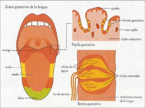 imagenes sensoriales gustativas wikipedia potenciadores del sabor monografias com