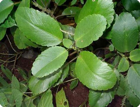 Tanaman Herbal Daun Cocor Bebek Suru Bebek Isi 10 Tunas 2 tanaman herbal amandel alami