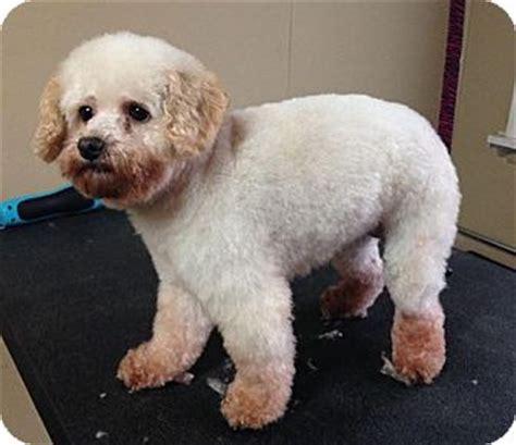 puppies for adoption dayton ohio miniature poodle rescue in ohio breeds picture