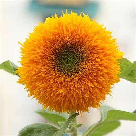 Benih Bunga Matahari Sunflower 4 favorable 20pcs rainbow chrysanthemum flower seeds color home garden bonsai plant newchic