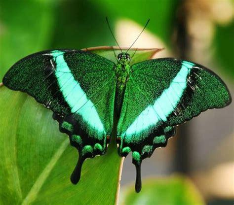 imagenes de mariposas reales bonitas ranking de las 12 mariposas m 225 s fascinantes del mundo