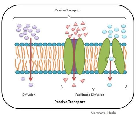 passive transport diagram b for biology cell membrane protector of the cell