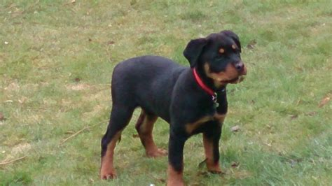 rottweiler 5 months rottweiler puppies 5 months www pixshark images galleries with a bite