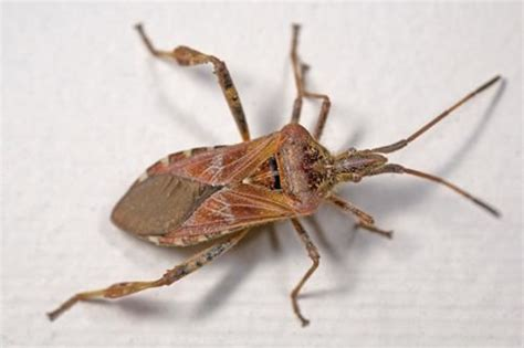 different types of bed bugs stink bugs get rid of stink bugs in ma ct ri me nh vt