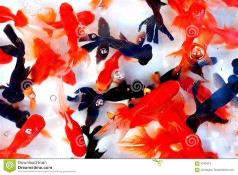 colorful goldfish colorful goldfish stock images image 4344014