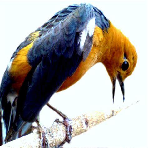 Pakan Branjangan Racikan anis merah kicau burung